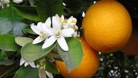 Hindistan Cevizli Ve Portakal Çiçekli Vücut Losyonu