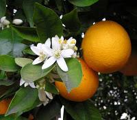 portakal losyonu